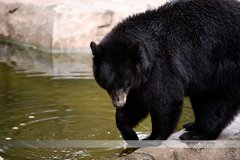 bears at durham museum of life and science