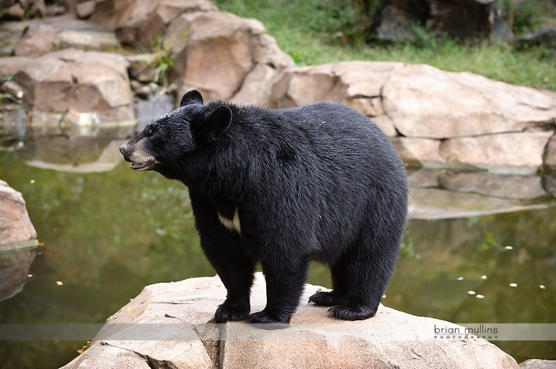 durham museum of life and science bear exhibit